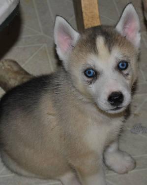 Siberian Husky Puppies 8 Weeks Old For Sale In Uxbridge