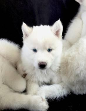 Pure White Husky With Blue Eyes Dog Food