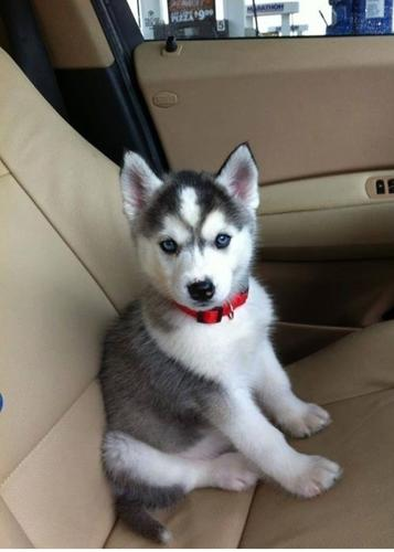 Siberian Husky Puppy For Sale In Birmingham Alabama Classified