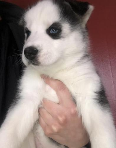 Siberian Husky Puppy for Sale - Adoption, Rescue