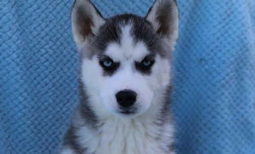 Siberian Husky Puppy for Sale - Adoption, Rescue for Sale in