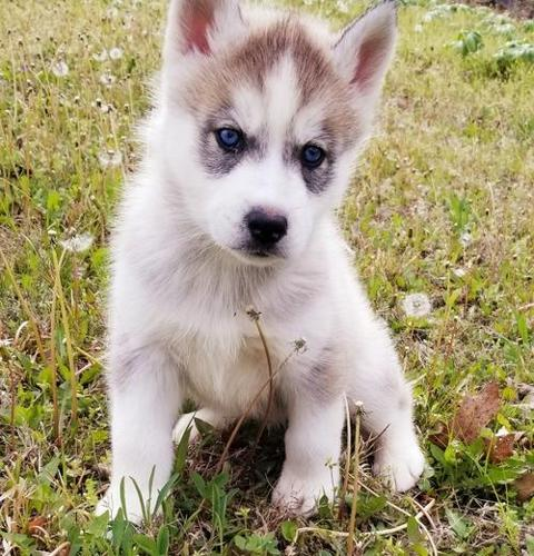 Siberian Husky Puppy For Sale Adoption Rescue For Sale In Seymour