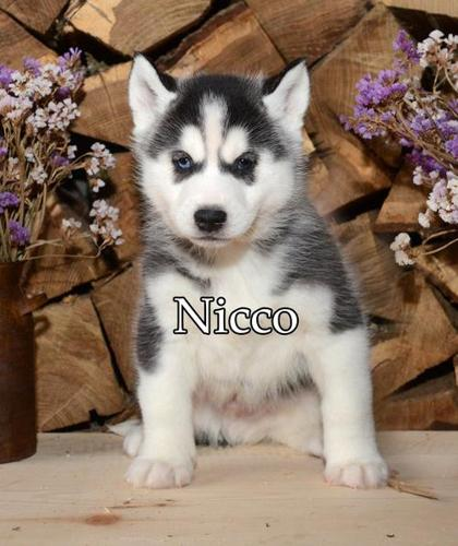 Siberian Husky Puppy For Sale Adoption Rescue For Sale In