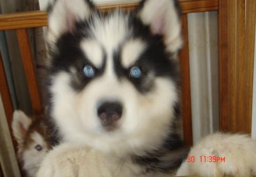 husky puppies michigan