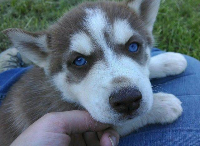 Siberian Husky Puppy Red & White Male Blue Eyes Ready Now ...