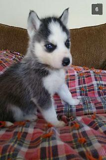 Siberian Husky Pups Blue Eyes For Sale In Albany Minnesota