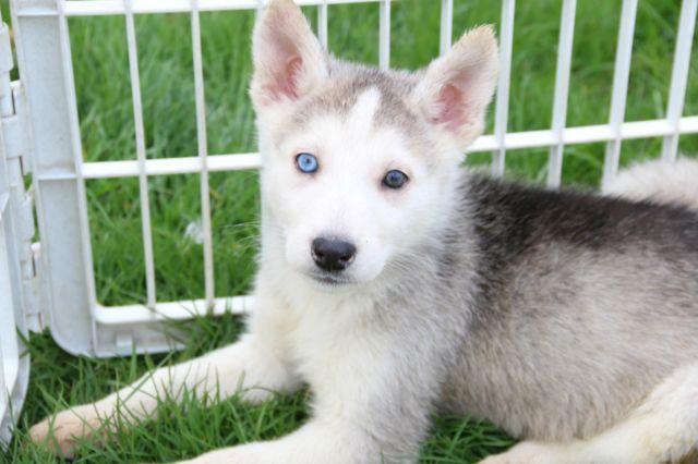 Siberian Husky/Shepherd Puppies