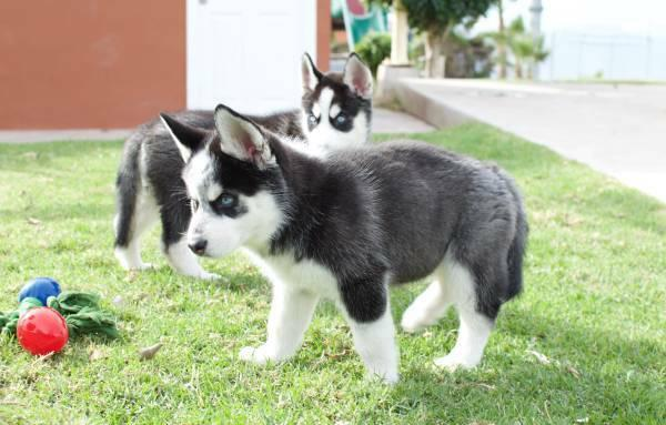 siberian husky wolf hybrid puppies for sale 7175474121 for. Black Bedroom Furniture Sets. Home Design Ideas