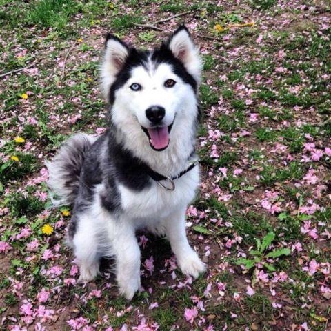 Siberian Husky X Malamute For Sale For Sale In Yakima Washington