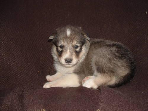 siberian indian dog puppies