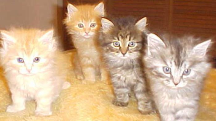 Siberian Kittens Nyc
