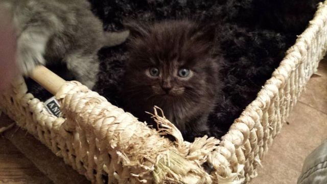 Siberian Kittens, TICA certified/ the hypo-allergenic cat