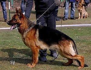 Sieger and Schutzhund Champion Pedigree German Shepherds For