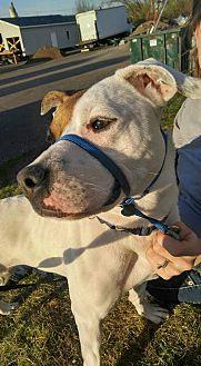 Sienna American Pit Bull Terrier Adult Female