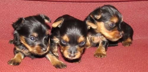 Silkie Yorkshire Terrier Puppies-