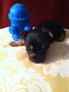 Silky Terrier Male -- He's a Pocket Rocket!