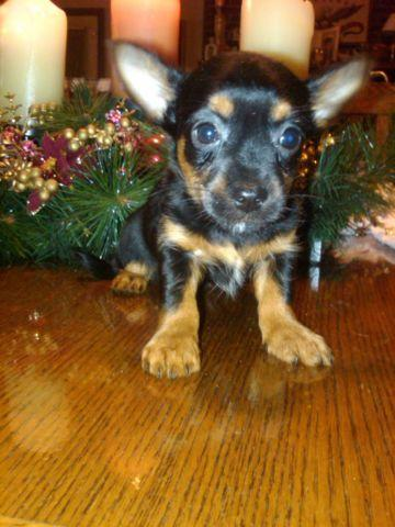 Silky Terrier Mix Puppies For Sale In Turners Station