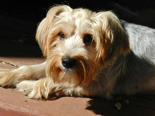 Silky Terrier Tiana Small Young Female Dog For