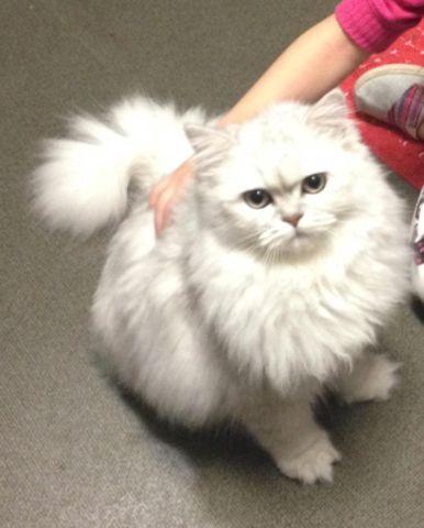 Silver Chinchilla Persian Kitten For Sale In Charbonneau Oregon Classified Americanlisted Com