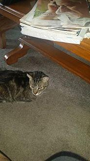 Silver Domestic Shorthair Adult Male