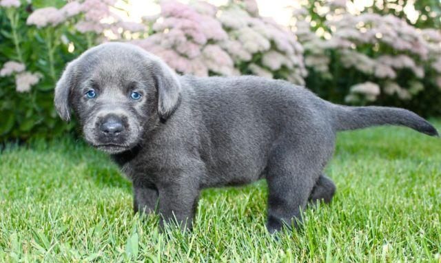 Charcoal Labs Pets And Animals For Sale In Rockford Ohio Puppy