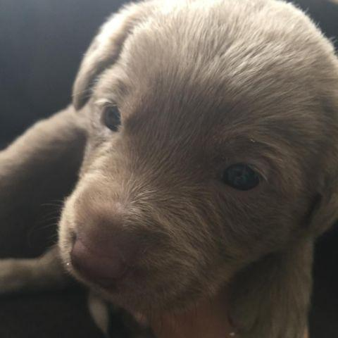 Silver Labrador Puppies For Sale For Sale In Denver
