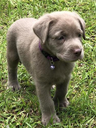 Silver Labrador Retriever Puppies for Sale in Orlando