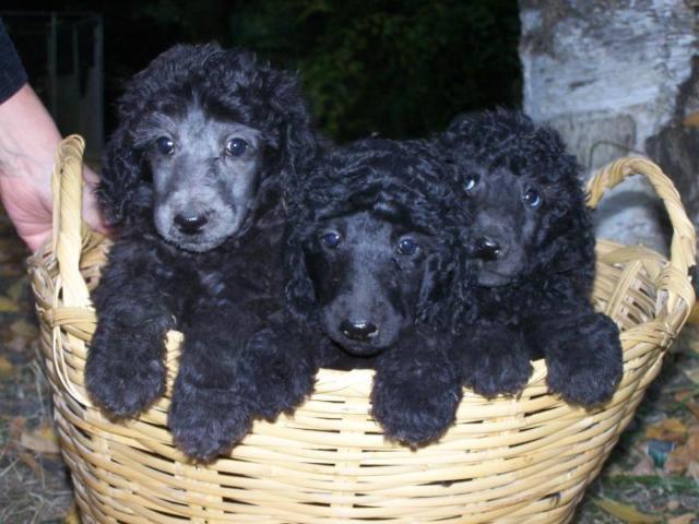 Silver or Black Standard Poodle Puppies 8 weeks Males OFA/ AKC
