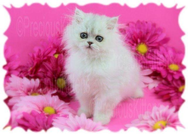 Pets and Animals for sale in Gifford, Florida - Puppy and kitten ...