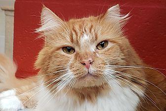 Simba Domestic Longhair Adult Male
