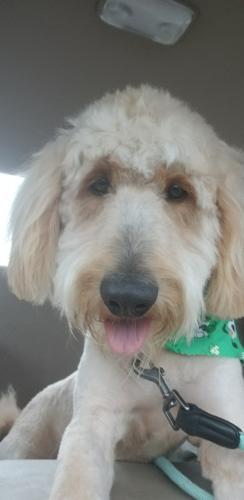 Simon-TX Standard Poodle Adult - Adoption, Rescue for Sale