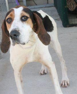 Siri Hound (Unknown Type) Senior Female