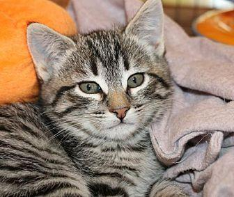 Sister Domestic Shorthair Young Female