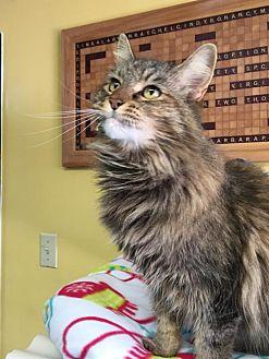 Sister Maine Coon Adult Female