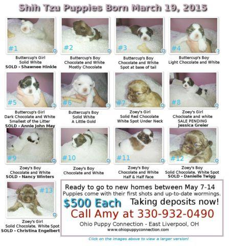 Sjhih Tzu Puppies Borm March 19, 2015