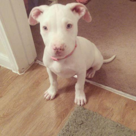 Sky Blue Eyes All White Female Pit Bull For Sale In