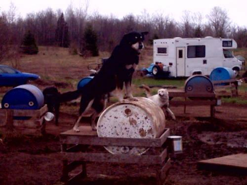 Sled Dogs for Sale in Manton, Michigan Classified ...