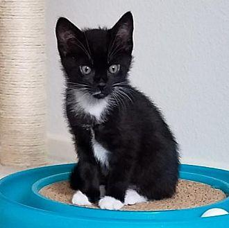 Slots Domestic Shorthair Kitten Male