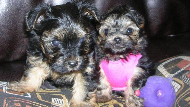 Small & Adorable Silkie Yorkie Puppies-8wks-1boy&1girl