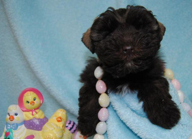 Small AKC Mini Schnauzer puppy
