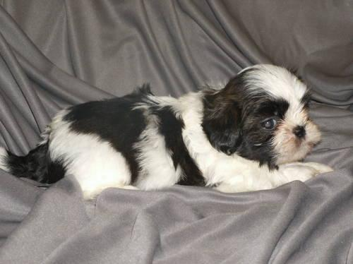 Small black and white female shih tzu puppy 10 weeks old for Old black and white photos for sale