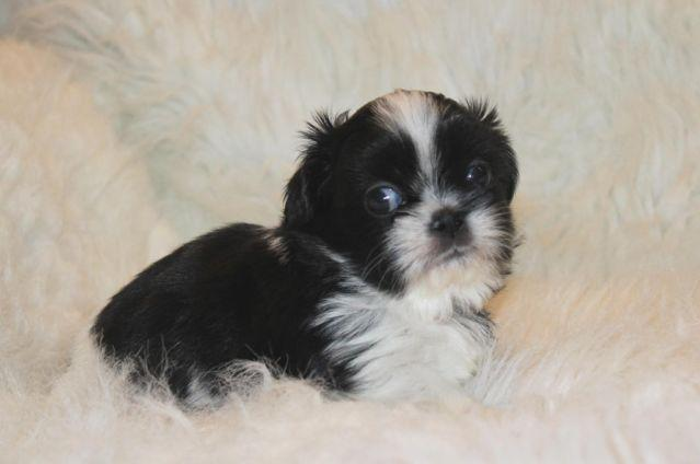 Small Black and White Shih Tzu Puppy (AKC reg.) for Sale ...