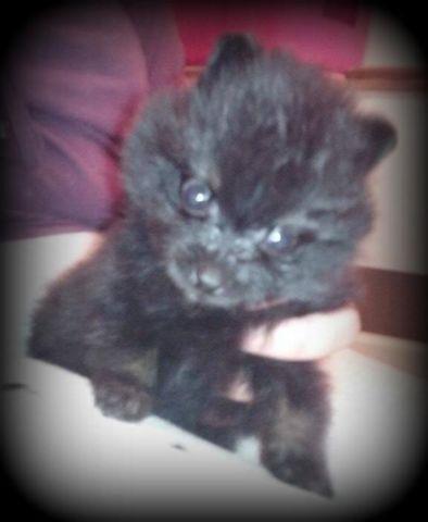 Small black/tan boy pomeranian!!