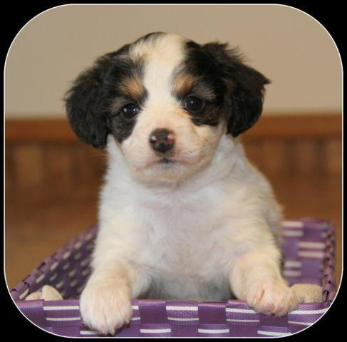 Small Breed Non Shedding Papillon X Poodle Puppies For