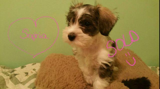 Small CKC Mini Schnauzer Puppies