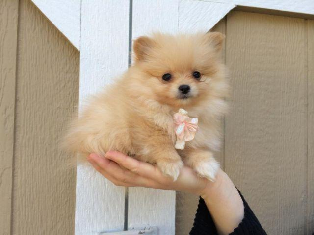 Small Cute Like Teacup White Baige Pomeranian Puppy 9 Weeks Old For