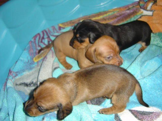 Doxiepoo Puppies For Sale In Raleigh North Carolina Classifieds