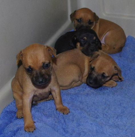 Small Dachshund X Min Pin Mix Puppies For Sale In Otisco New York