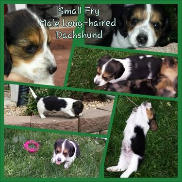 Small Fry the Long-haired Piebald Mini Dachshund Puppy for Sale in ...