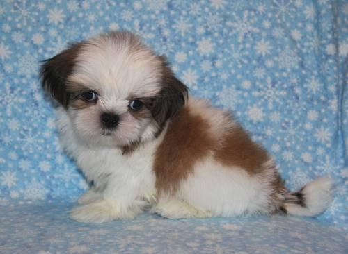 Small Gold And White Shih Tzu Puppy Gilley For Sale In Burleson